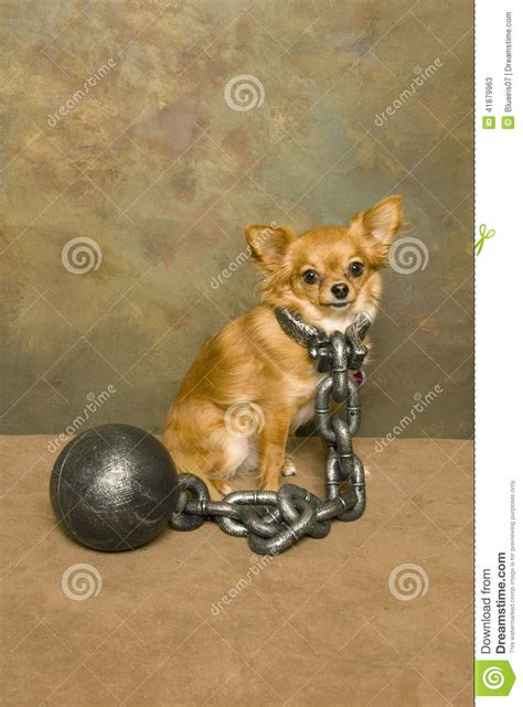 Ball and chained Chihuahua stock image