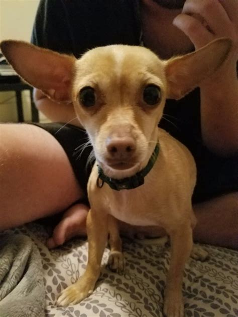 Determining the Age of a Chihuahua   ThriftyFun