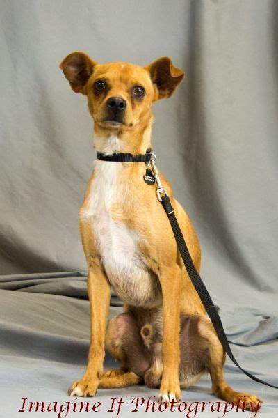Dog for adoption - Daddy Long Legs, a Chihuahua Mix in